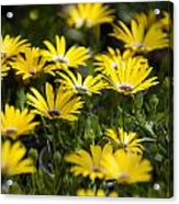 Little Field Of Yellow Daises Acrylic Print