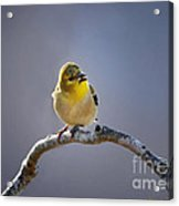 Little Goldfinch Acrylic Print