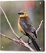 Little Grackle In A Big World Acrylic Print