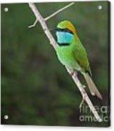 Little Green Bee-eater  Merops Orientalis Acrylic Print