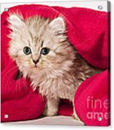 Little Kitten With Pink Blankie Acrylic Print