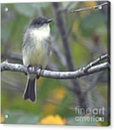 Little Lady Eastern Kingbird Acrylic Print