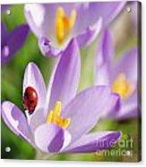 Little Ladybug On Flowers In My Garden Acrylic Print