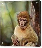 Little Monkey Acrylic Print