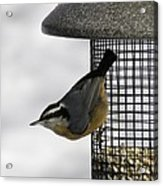 Little Nuthatch Acrylic Print