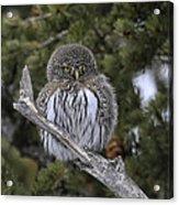 Little One - Northern Pygmy Owl Acrylic Print