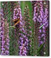 Little Orange And Black Butterfly Acrylic Print