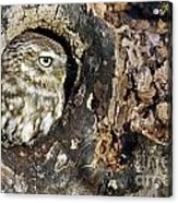 Little Owl 4 Acrylic Print