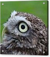 Little Owl Acrylic Print by Ed Pettitt