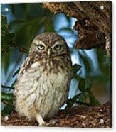 Little Owl Acrylic Print
