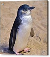 Little Penguin Acrylic Print