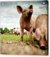 Little Pigs Acrylic Print