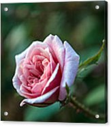 Little Pink Rose Acrylic Print