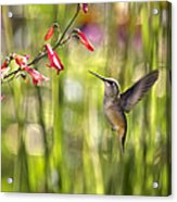 Little Queenie-calliope Hummer Acrylic Print by Dana Moyer