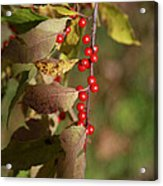 Little Red Berries Acrylic Print