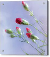 Little Red Carnations In The Sun Acrylic Print