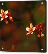 Little Red Flowers Acrylic Print