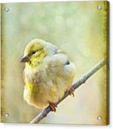 Little Softie Gold Finch - Digital Paint Acrylic Print