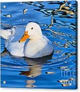 Little White Duck Acrylic Print
