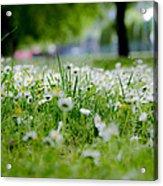 Little White Flowers II Acrylic Print