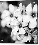 Little White Flowers. Acrylic Print by Slavica Koceva
