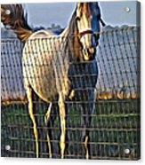 Little White Pony Acrylic Print