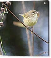 Little Yellow Bird In The Glades Acrylic Print