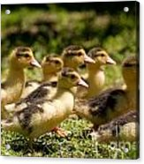Yellow Muscovy Duck Ducklings Running Fast  Acrylic Print
