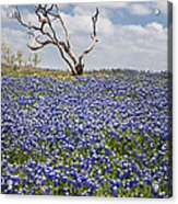 Live Bluebonnets And Dead Tree Acrylic Print