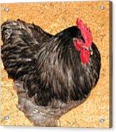 Live Chicken - 2011 Houston Livestock Show Acrylic Print