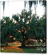Live Oak Bathed In Evening Light Acrylic Print