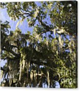 Live Oak Dripping With Spanish Moss Acrylic Print