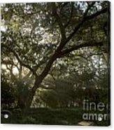 Live Oak Light Streaming Through Fog Acrylic Print