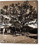 Live Oak Outer Banks Acrylic Print
