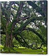 Live Oak Trees Acrylic Print