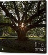 Live Oak With Early Morning Light Acrylic Print