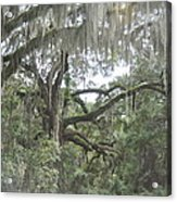 Live Oaks And Spanish Moss C Acrylic Print