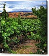 Livermore Vineyard 1 Acrylic Print