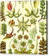 Liverworts Moss Brunnenlebermoos Haeckel Hepaticae Acrylic Print