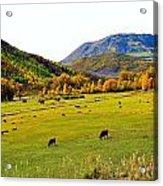 Livestock Grazing In Colorado Acrylic Print