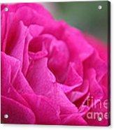 Living Fuchsia Acrylic Print
