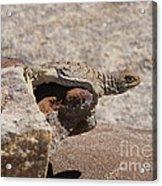 lizard from central Madagascar Acrylic Print