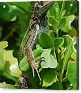 Lizard In Hedge Acrylic Print