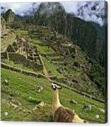 Llama At Machu Picchu Acrylic Print