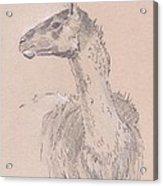 Llama Drawing Acrylic Print