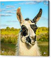 Llama Portrait Acrylic Print