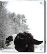 Llama Profile In Snowfall, Maine, New Acrylic Print