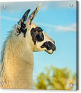 Llama Profile Acrylic Print