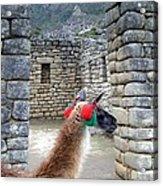 Llama Touring Machu Picchu Acrylic Print