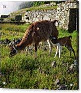 Llama Ya Mama Acrylic Print